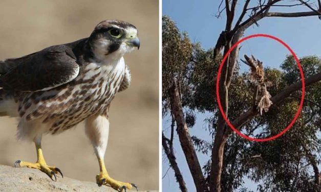 Palestinians attach firebomb to falcon in latest sick attempt to attack Israel