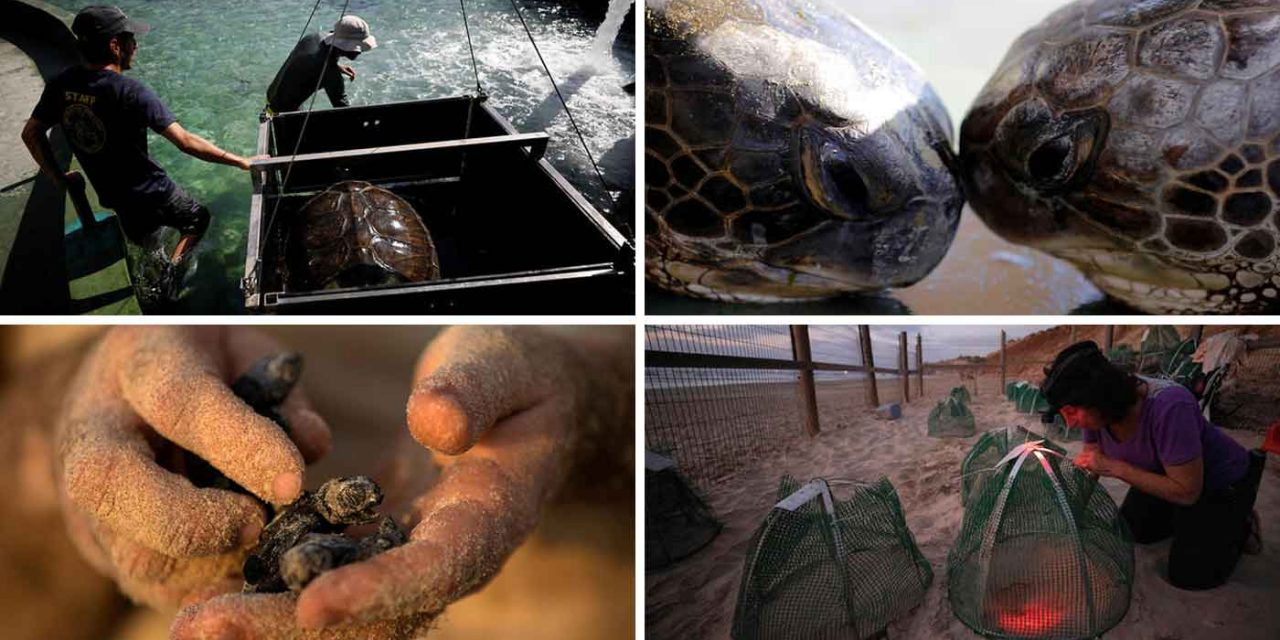 Israel breeds endangered Green Sea Turtles to help save species