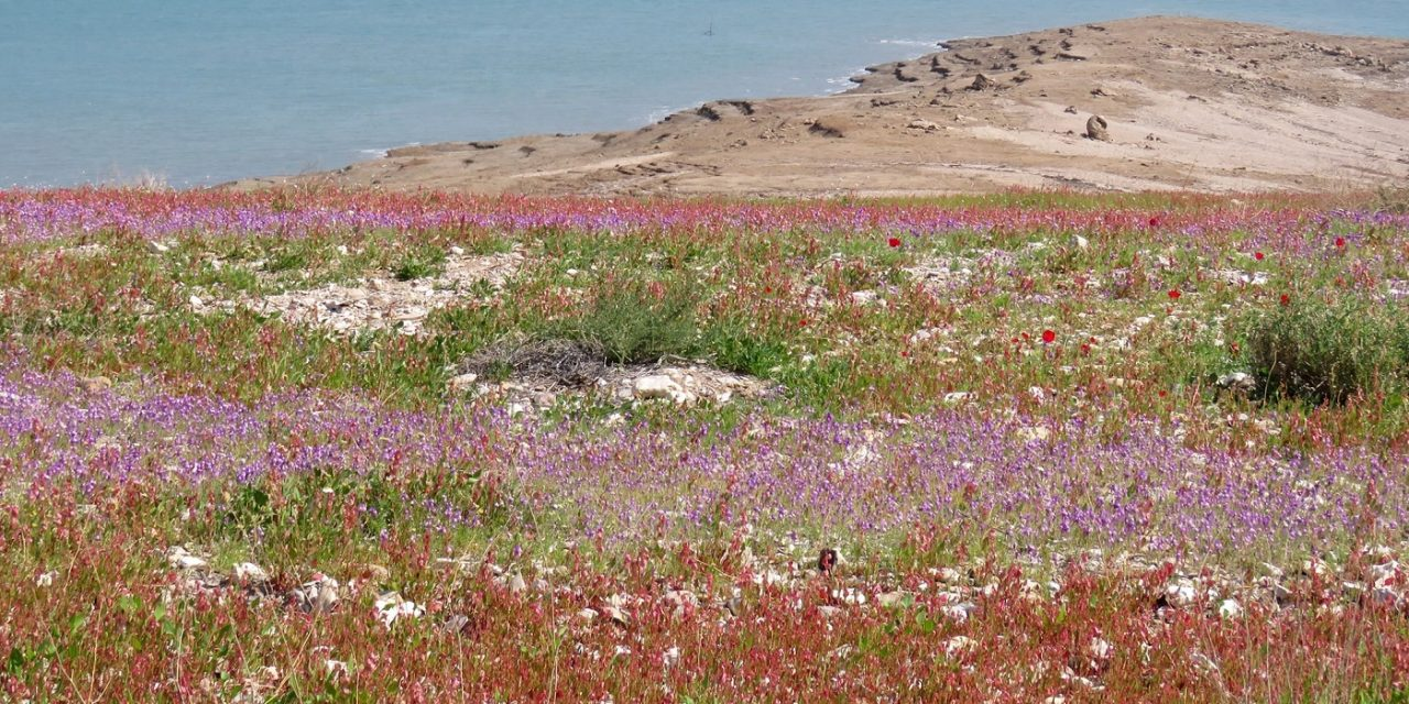 The Dead Sea shore is flourishing – Heavy rainfall in Israel brings carpets of colourful flowers