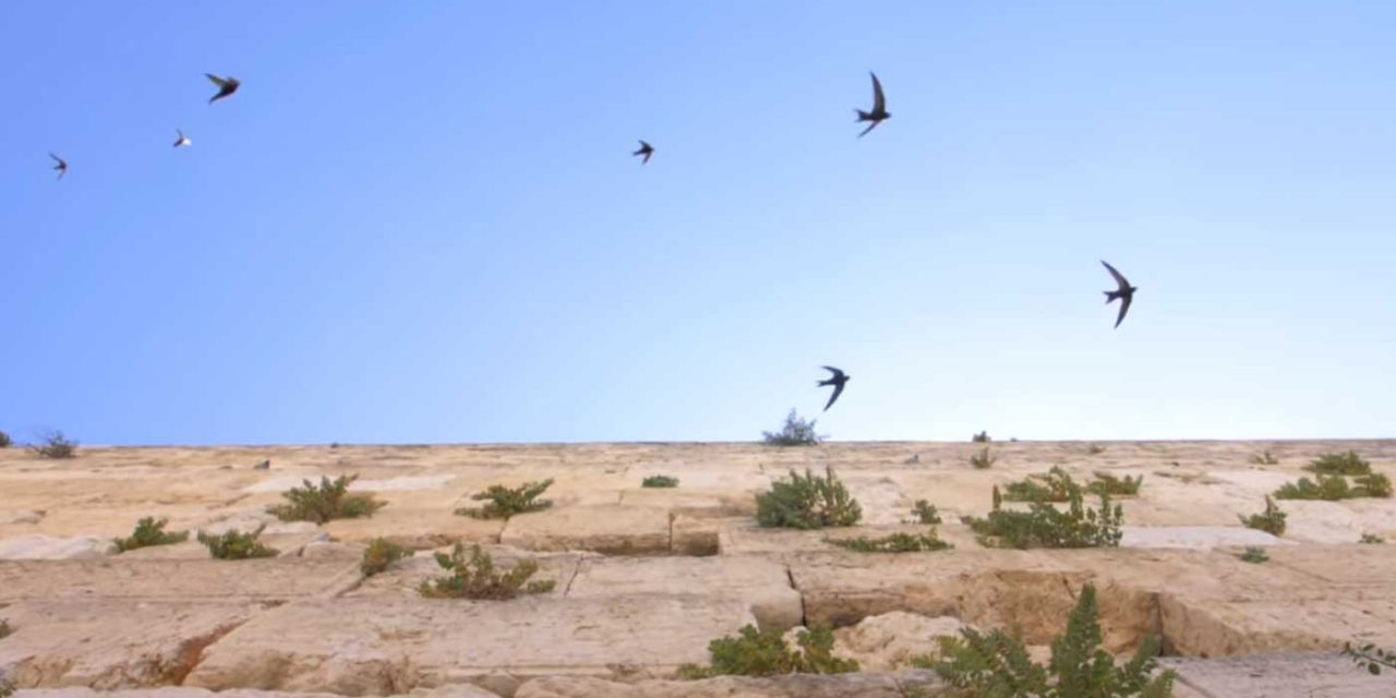 Swifts put on ancient aerial show at a Western Wall emptied of people